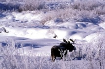 A moose exploring the snow landscape in Jackson Hole